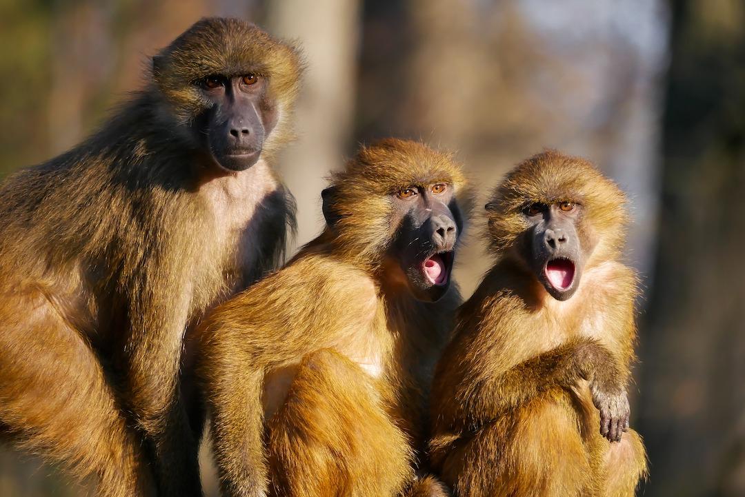 Zu viel grübelnder Affengeist